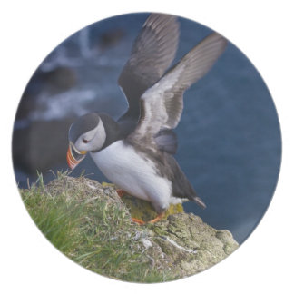 Atlantic Puffin (Fratercula arctica) 2 Plate