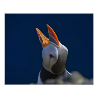 Atlantic Puffin (Fratercula arctica) 3 Poster