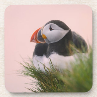 Atlantic Puffin (Fratercula arctica) 6 Coaster