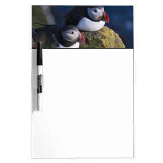 Atlantic Puffin (Fratercula arctica) 7 Dry Erase Board