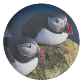 Atlantic Puffin (Fratercula arctica) 7 Plate
