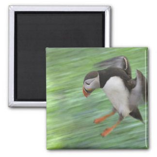 Atlantic Puffin (Fratercula arctica) flying Magnet