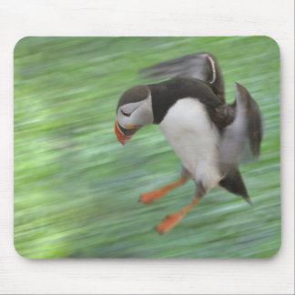 Atlantic Puffin (Fratercula arctica) flying Mouse Mat