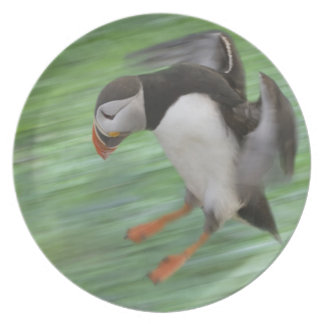 Atlantic Puffin (Fratercula arctica) flying Plate