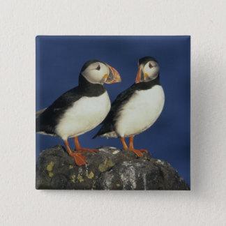 Atlantic Puffin, Fratercula arctica), in 15 Cm Square Badge