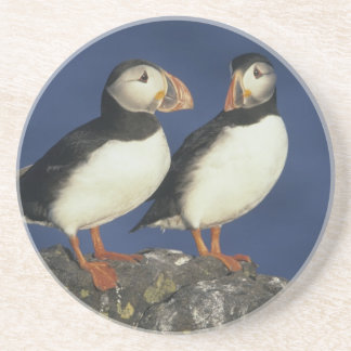 Atlantic Puffin, Fratercula arctica), in Coaster