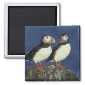 Atlantic Puffin, Fratercula arctica), in Magnet