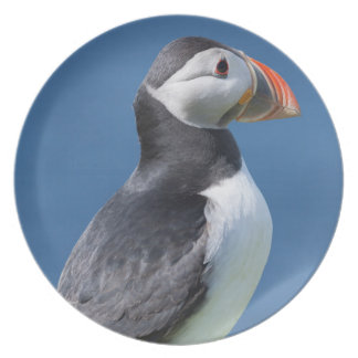 Atlantic Puffin (Fratercula Arctica) On Cliff Plate