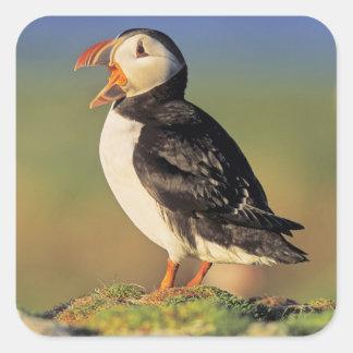 Atlantic Puffin (Fratercula Arctica) Square Sticker