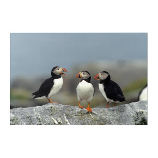 Atlantic Puffin Group Acrylic Wall Art
