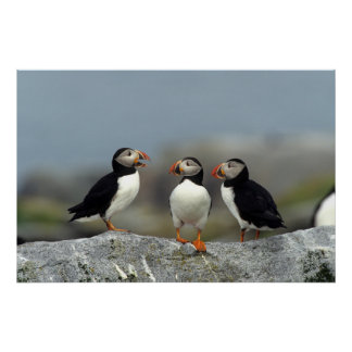 Atlantic Puffin Group Poster
