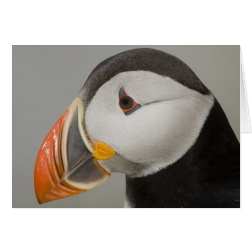 Atlantic Puffin Notecards Card