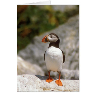 Atlantic Puffin Profile Card