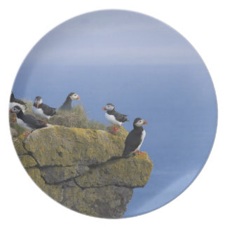 Atlantic Puffins (Fratercula arctica) on cliff Party Plates