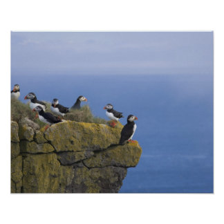 Atlantic Puffins (Fratercula arctica) on cliff Poster