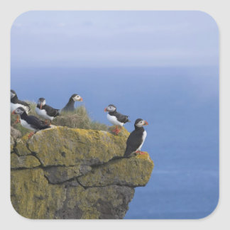 Atlantic Puffins (Fratercula arctica) on cliff Square Sticker