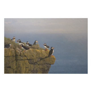 Atlantic Puffins (Fratercula arctica) on cliff Wood Wall Decor