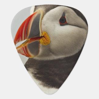 Atlantic Puffins on Machias Seal Island off Guitar Pick