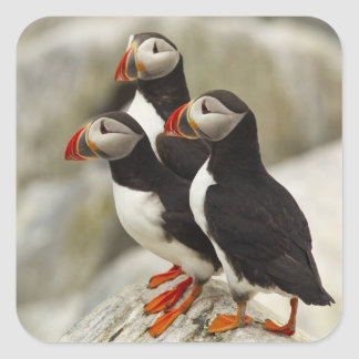 Atlantic Puffins on Machias Seal Island off the
