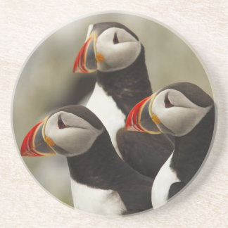 Atlantic Puffins on Machias Seal Island off the Beverage Coaster