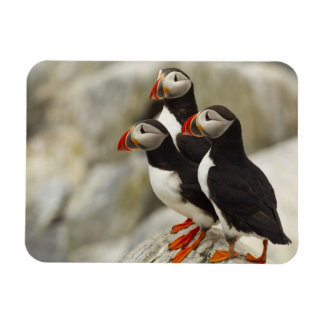 Atlantic Puffins on Machias Seal Island off the Magnet