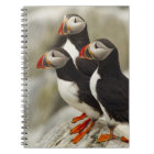 Atlantic Puffins on Machias Seal Island off the Notebook