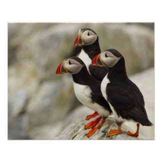 Atlantic Puffins on Machias Seal Island off the Poster