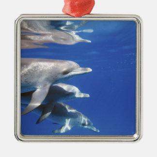 Atlantic spotted dolphins. Bimini, Bahamas. 10 Christmas Ornament