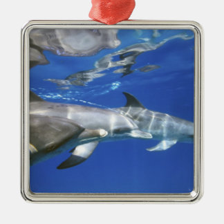 Atlantic spotted dolphins. Bimini, Bahamas. 11 Christmas Ornament