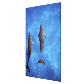 Atlantic spotted dolphins. Bimini, Bahamas. 7 Canvas Print