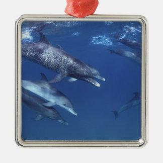 Atlantic spotted dolphins. Bimini, Bahamas. 8 Christmas Ornament