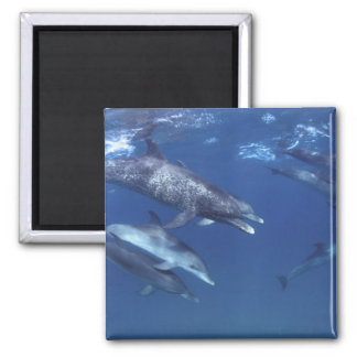 Atlantic spotted dolphins. Bimini, Bahamas. 8 Magnet