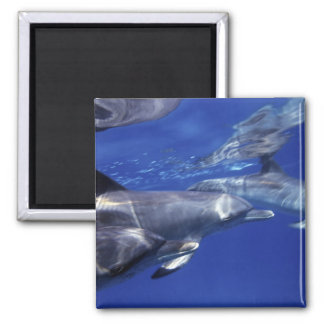 Atlantic spotted dolphins. Bimini, Bahamas. 9 Magnet