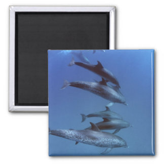 Atlantic spotted dolphins. Bimini, Bahamas. Magnet