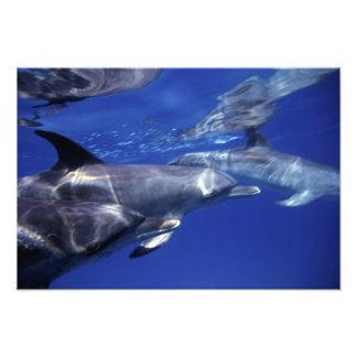 Atlantic spotted dolphins. Bimini, Bahamas. Photo Print