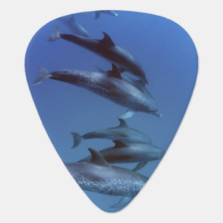 Atlantic spotted dolphins. Bimini, Bahamas. Plectrum