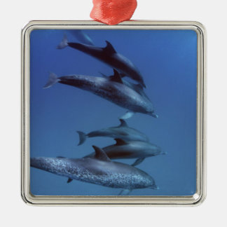 Atlantic spotted dolphins. Bimini, Bahamas. Silver-Colored Square Decoration