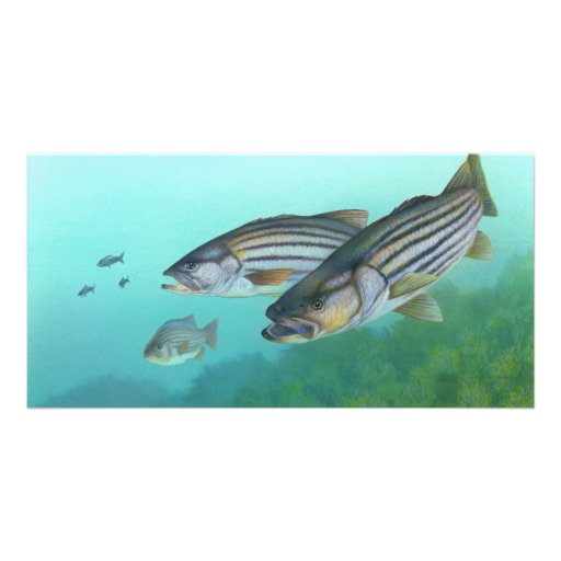 Atlantic Striped Bass Fish Morone Saxatilis Picture Card