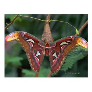 Atlas moth postcards