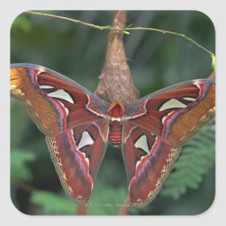 Atlas moth square sticker