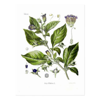 Atropa belladonna (Deadly Nightshade) Postcard