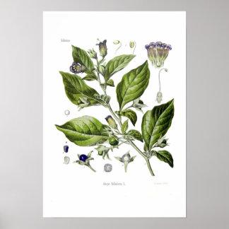 Atropa belladonna (Deadly Nightshade) Posters