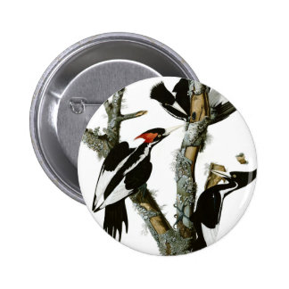 Aububon's Ivory-billed Woodpecker in Ash tree 6 Cm Round Badge