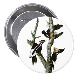 Aububon's Ivory-billed Woodpecker in Ash tree 7.5 Cm Round Badge