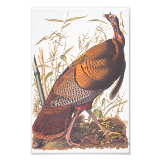 Audubon Birds of America Wild Turkey Male Bird Art Photo