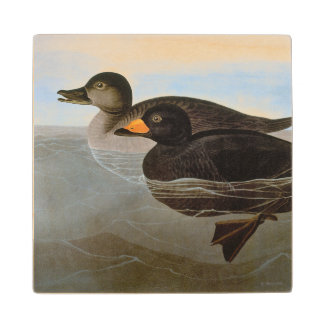 Audubon: Black Scoter Wood Coaster
