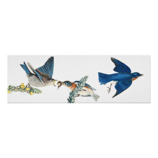 Audubon Bluebird Birds Animal Wildlife Poster