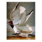 Audubon: Bonaparte's Gull Postcard