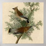 Audubon Cedar Waxwing Bird Poster