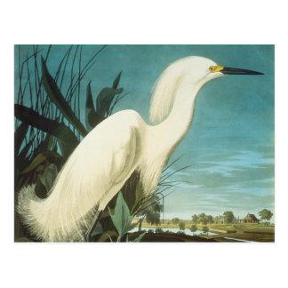 Audubon: Egret Postcard